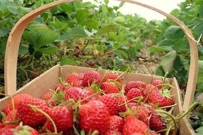 strawberry-tasting